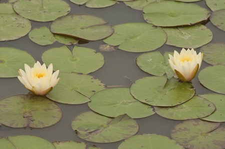 Two water lilly flower photo