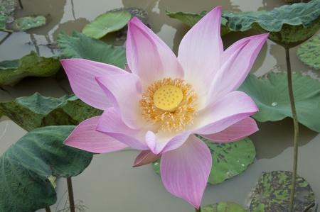 Pink Lotus flower Stock Photo - 9231320