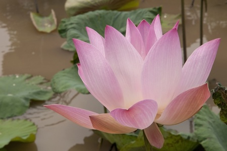 Pink color water lilly as tropical background Stock Photo - 9277993