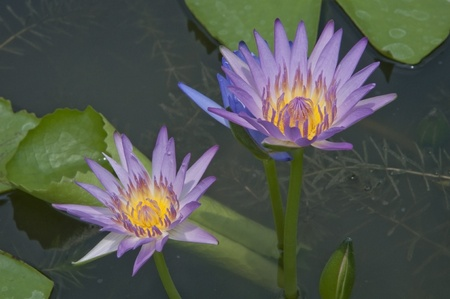 Colorful water lilly flower as tropical background Stock Photo - 9277995