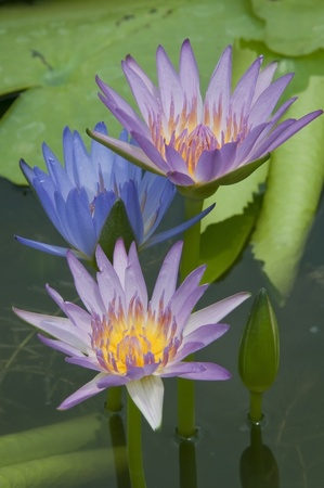 Colorful lotus flower as tropical background Stock Photo - 9277992
