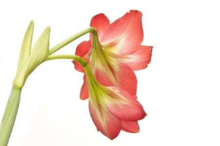 Back side of amaryllidaceae flower as white isolate background photo