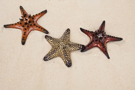 seastar: Seastar in sand