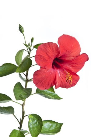 Red color Hibiscus flowers photo