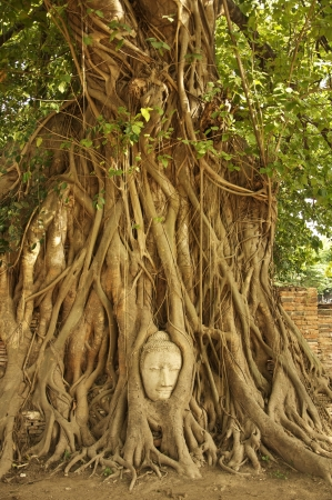 Buddha head in the roots of an overgrown fig tree in ayutthaya historical park thailand photo