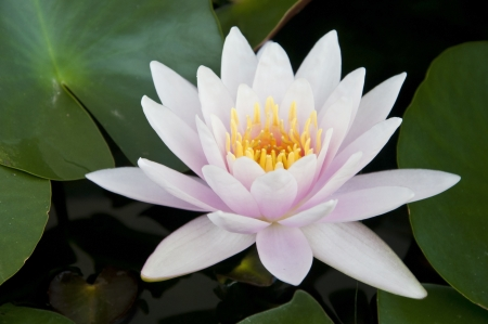 water lilly bloom as tropical background Stock Photo - 13873915