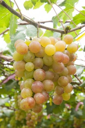 winemaking: Grapes fruit