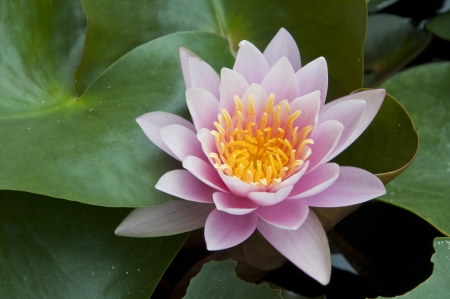 pink color lotus flower Stock Photo - 14165543