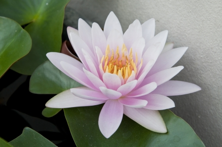 water lilly bloom Stock Photo - 14319806