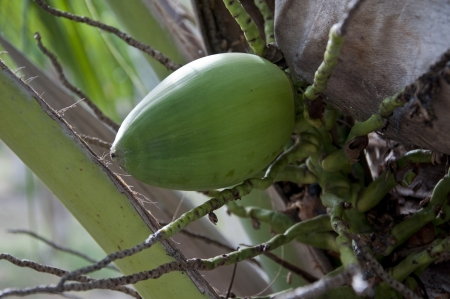 green coconut photo