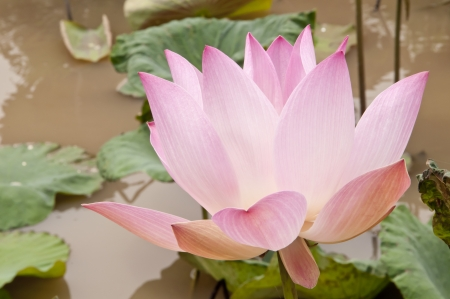 pink water lilly in tropical background Stock Photo - 14711959