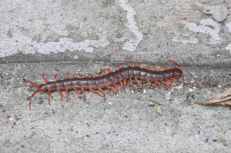 Centipede in nature background photo
