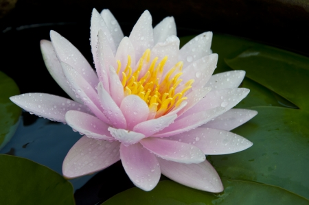 pink color water lilly and water drop Stock Photo