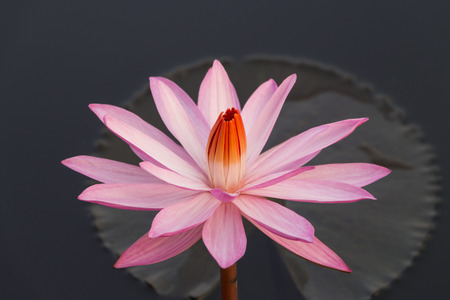 waterlilly: Pink colour waterlilly flower