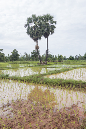 sugar palm tree as front of rice field