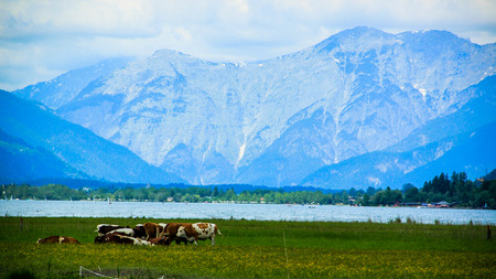 Cows on a field in mountain range photo