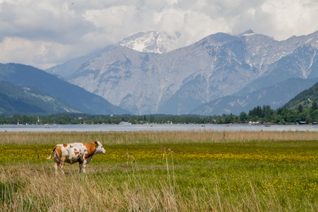 single cow on the field next to Zell am See lake in Austria photo