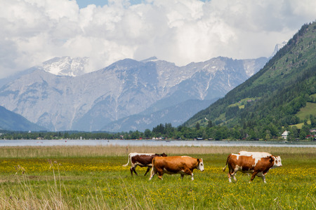 Three cows on a grass land next to the Zell am See lake in Austria photo