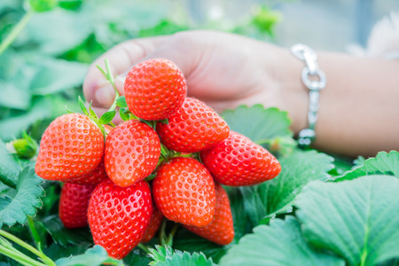 Fresh strawberries are in the garden. Stockfoto