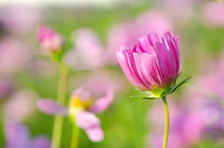 pink cosmos flower blooming in the garden