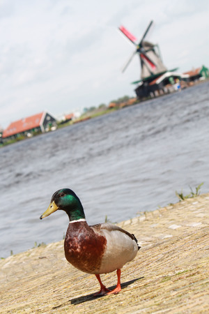 Duck with windmill background in Netherland photo