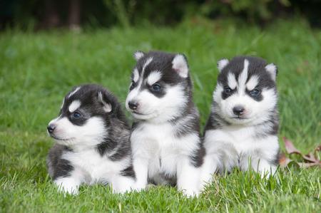 Cuccioli Siberian Husky Archivio Fotografico - 34150999