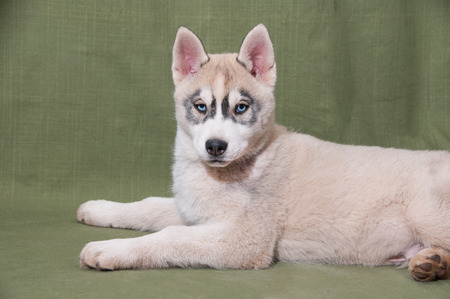 Husky puppy with blue eyes photo