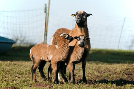 diurnal: Sheep bamby Stock Photo