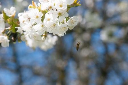 Fiori di frutta nel mese di aprile, Archivio Fotografico - 57773515