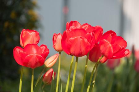 Red Tulip (Tulipa) in aiuola Archivio Fotografico - 57773943