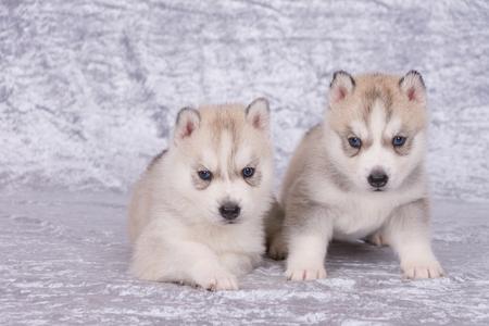 Due cuccioli husky con gli occhi azzurri Archivio Fotografico - 92040226
