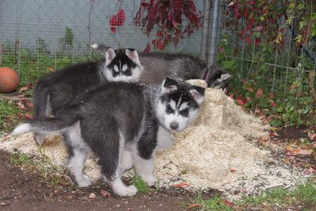 Due cuccioli Husky che giocano nella lettiera