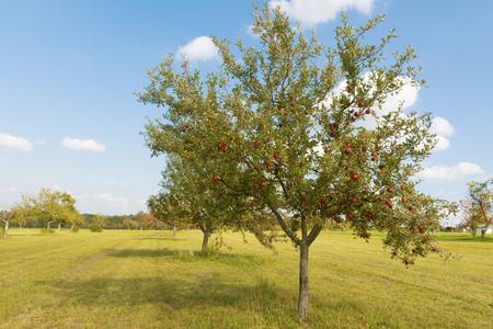 Alberi da frutto sul prato in estate Archivio Fotografico - 93012256
