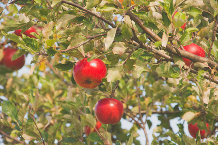 Red apples are hanging on the tree