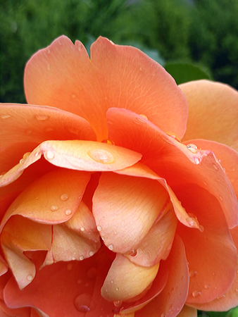 Deeply cupped blooms showy bright coppery-pink and copper-yellow on the outside of the petals.