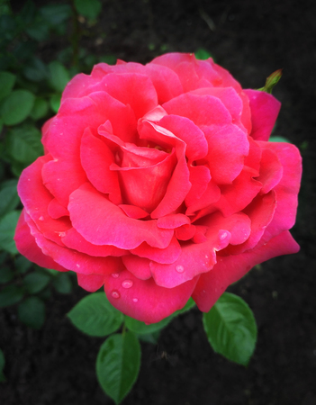 Crimson Ukrainian rose named Khersones, bred by Klimenko