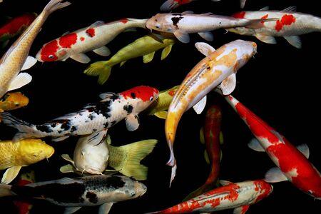 Koi pond with colored varieties of amur carp, nature scene.