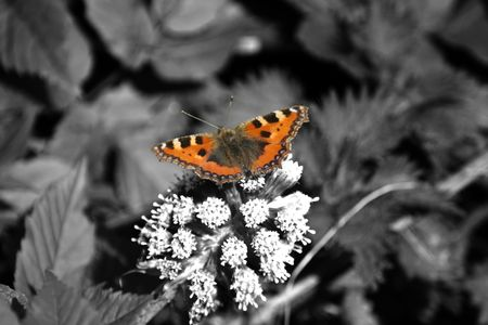 admiral: Red Admiral on black and white background