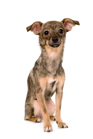 grey haired: Small dog on white background