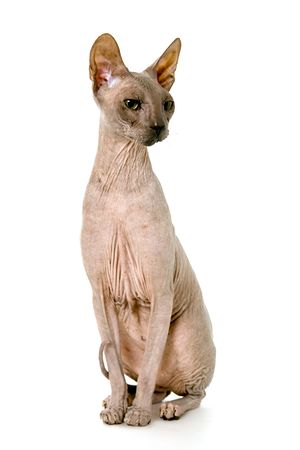 contracted: Don Sphynx on isolated white Stock Photo