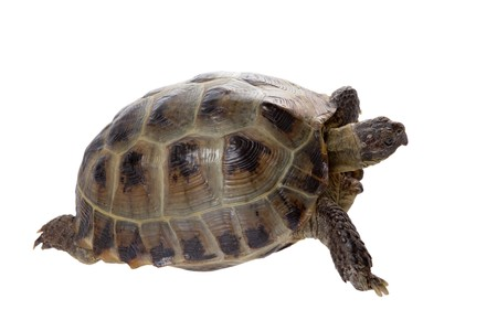 a studio photo of a tortoise crawling on white background Stock Photo