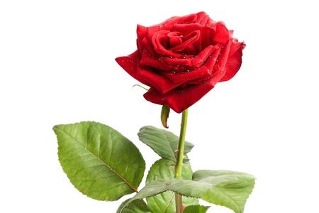 beautiful red rose photo