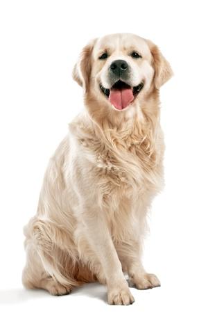 perro labrador: Golden retriever posando en estudio.  Foto de archivo