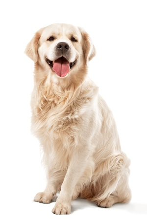 Golden retriever posing in studio.  Фото со стока