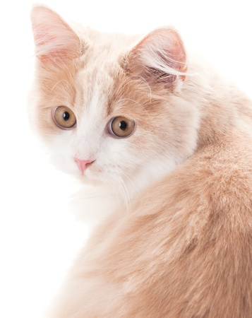 ragdoll: Little cat on a white background