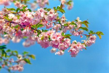 almond tree: blossom almonds tree Stock Photo