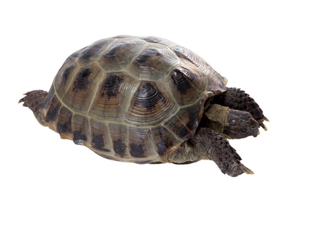 a studio photo of a tortoise crawling on white background photo
