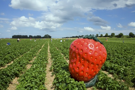 strawberry field  in Germany with blue sky and clouds Stock Photo - 13389050
