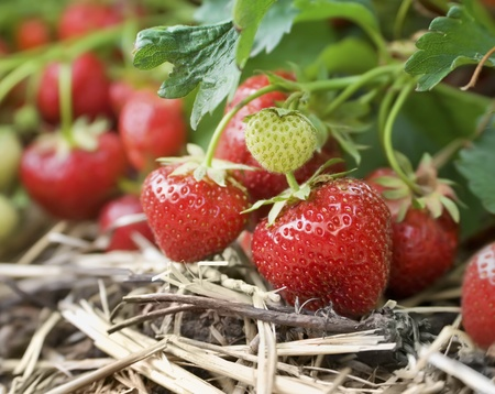 Closeup of fresh organic strawberries growing on the vine photo