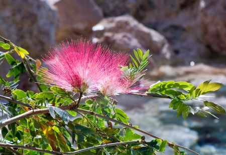 pink of beautiful flower in bloom  over a mountain stream photo